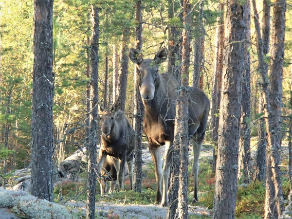 Moose © Armi Salonen